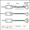 プレシナプスにおけるタンパク質合成の要がリソソーム関連小胞?? (Neuron 2018年9月19日号掲載予定論文)