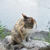 【一日一枚写真】畔の三毛猫【一眼レフ】
