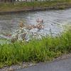 小鮎ポイントでもある芹川、犬上川、愛知川を偵察しつつ近江八幡観光~。