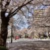 市役所前さくら通り、散り始め  (3月29日14時頃)