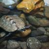 ニホンイシガメMauremys japonica