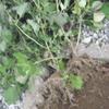 自宅は虫が多い、根菜物は育てるのが難しい