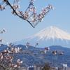 朝の散歩は富士山と桜で