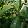 庭の収穫物 その8 グアジャバ