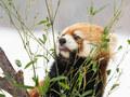 【かわいいは正義!】円山動物園で雪中のレッサーパンダを撮影