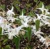 トキワイカリソウ(常磐錨草)の花