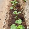 夏野菜と赤ジソの植え付け