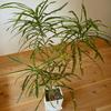 観葉植物メンテ強調週間…その2
