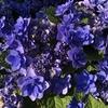新種の紫陽花品種が欲しくて入手してしまった