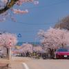 海に続く桜道:高岡市伏木の十間道路