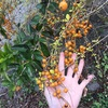 「アカギ」奄美で見かけた植物。