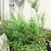クコとベルガモットの花