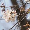 3月下旬:都立井の頭恩賜公園をお写んぽ。その2 桜・野鳥・橋編
