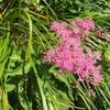 滋賀県最高峰・伊吹山で出会った山野草たちを紹介します【後編】