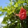 いろいろな種類や色もある夏らしいハイビスカス