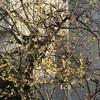 蝋梅の俯くほどに黄の匂ふ(あ)