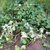 サツマイモ苗植え付けからそろそろ4か月、試し掘りしてみたら・・・