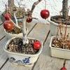 姫リンゴの落下と梅の開花。冬から春へ。
