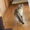 新種のネコ『キツネネコ』発見ですと?
