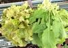 【農のある暮らし】自家製野菜の山盛りグリーンサラダ