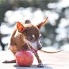 【犬にりんごを与えて大丈夫?】犬にりんごを与えるメリットや注意点、与え方の例を紹介します