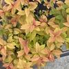 黄色葉の植物