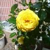 これも、何個目でまともな形の花が咲いただろうか