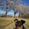 まめ吉、桜咲く公園を散歩する【野木町総合運動公園。ドッグランではなく桜咲く園内をお花見散歩】