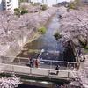 町田市 恩田川の桜並木