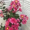 夏の花木『サルスベリ(百日紅)』(ペパーミントレース)の鉢植え成長記録~興味深い花の構造も紹介!
