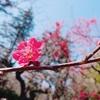 観梅 -神代植物公園で出会った梅の数々-