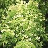 24節気「芒種」の頃の庭の自然のトピックは?シジュウカラが巣立ち、ヤマボウシ、ナツツバキが開花!