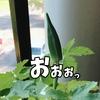 家庭菜園1年生 ~オクラってそうやってなるんだ!!編~