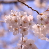 東京お花見ポタリング&高木さん神社へ
