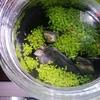 ボトルの水草とヒメダカの稚魚
