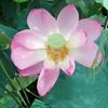 フラワーエッセンスが花から作られる理由