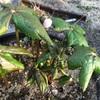 花芽が増えたよ、ヒマラヤハッカクレン