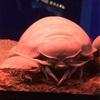 深海生物!オオグソクムシを飼育してみよう!写真集付き!