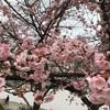 隅田公園の早咲き桜です