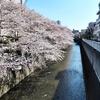 桜の誘惑にはコロナの自粛も勝てぬ...な、東中野の神田川桜