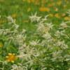 続白山高山植物園「お花畑」(その3)