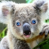 コアラの鳴き声は意外と怖い【かわいさ皆無】