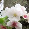 神奈川県の桜の名所!満開のサクラと花散らしの雨の前に・・・