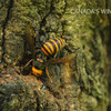 コナラの樹皮を齧るオオスズメバチ女王