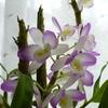 デンドロビウムの花