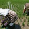 農薬も化学肥料も使わないお米、敵は雑草と黒い「あいつ」でした