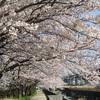 桜並木を歩く 小倉南区