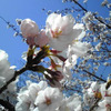 水上バス・アクアMiniからの造幣局の桜と大阪城で大道芸・TOMIさん