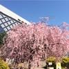 桜の開花状況 浜町公園 2018/3/25