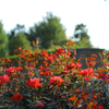 平塚花菜(かな)ガーデンは秋バラが見頃♪コスモスやコキアも少しありました(^^)